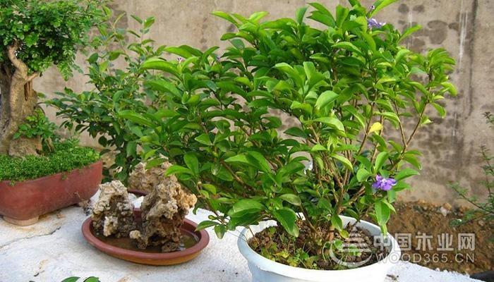 盆景植物怎么养?盆景植物名称有哪些?盆景植物价格多少?