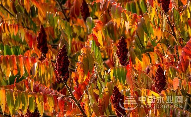 漆树种子有毒吗?漆树过敏怎么办?