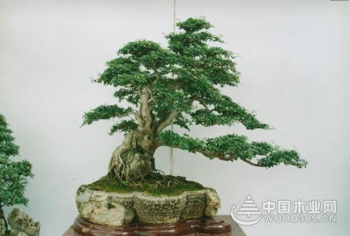 榕树盆景多久修剪一次?