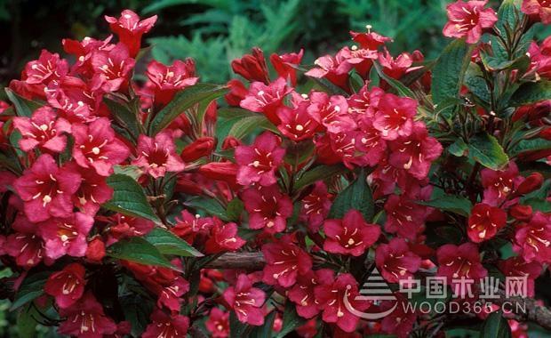 锦带花育苗方法介绍