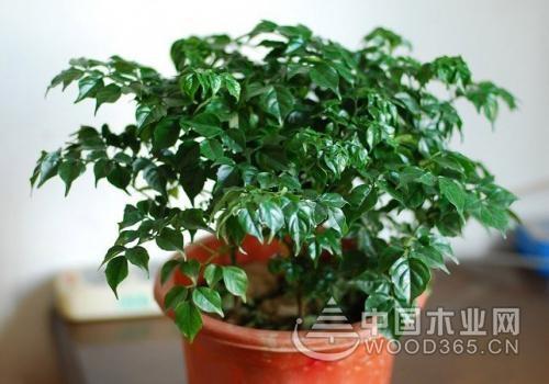 元宝树植物形态等相关知识