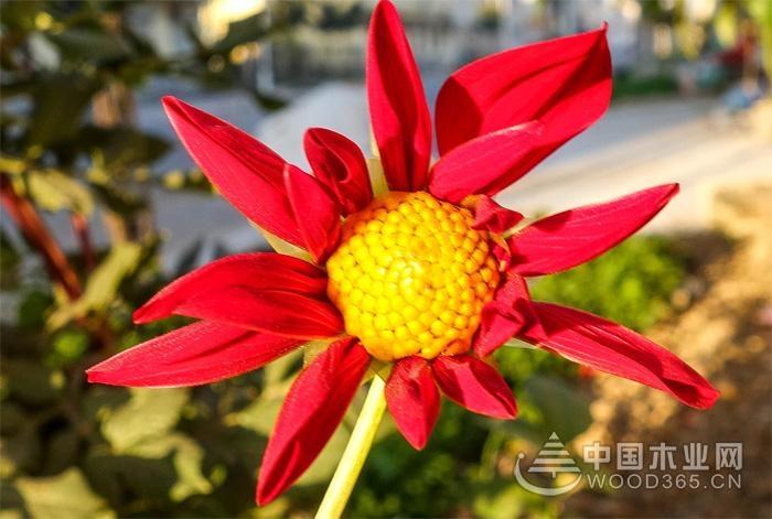 山芋花的种植技术和病虫害防治|山芋花图片