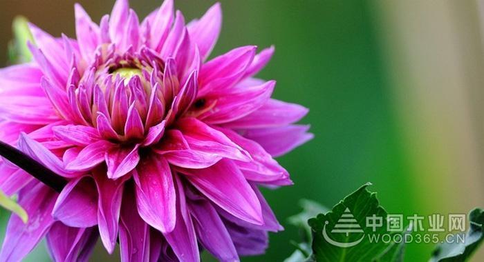 红苕花植物知识|红苕花图片