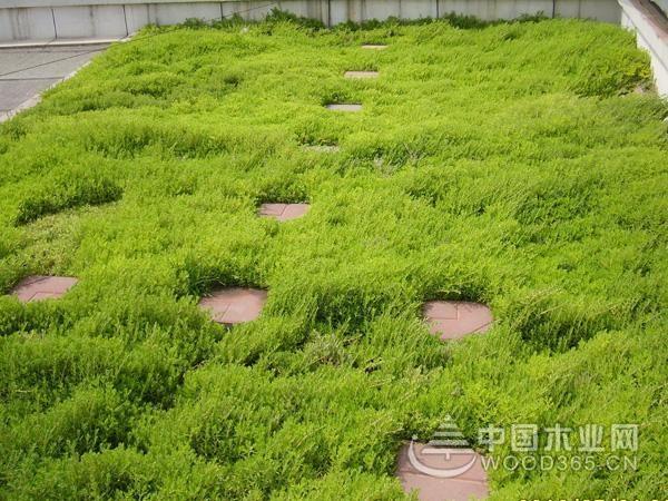 佛甲草习性和佛甲草种植方法