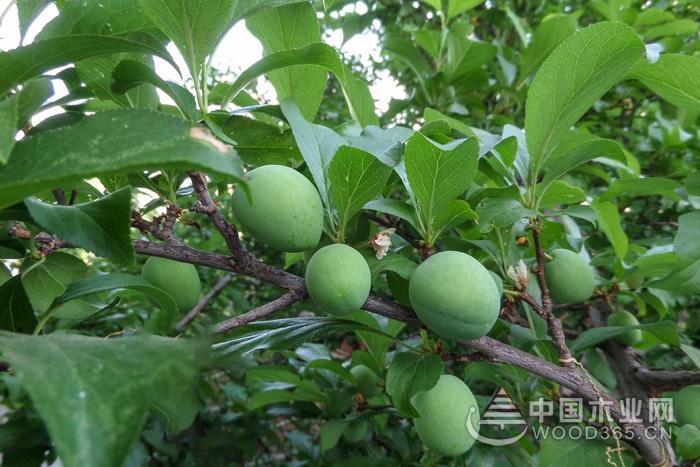 青李子的功效、作用及食用禁忌