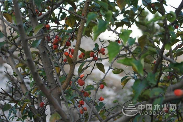 柘树知识和柘树果实的功效介绍