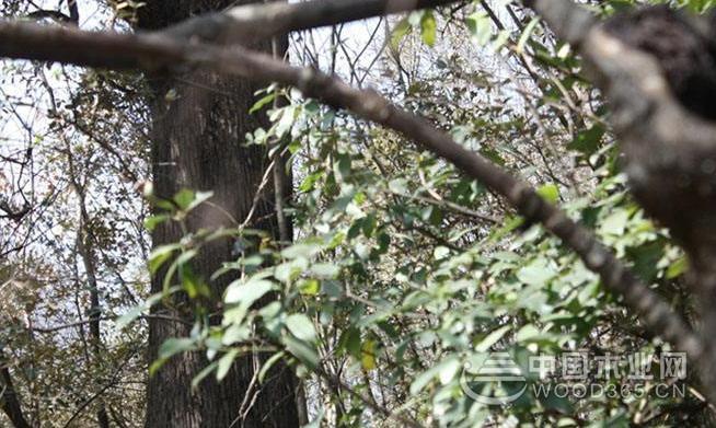 铁橡栎植物介绍