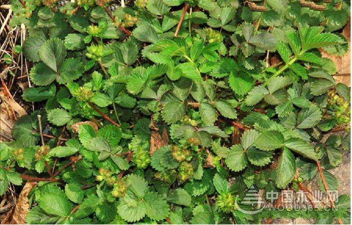 莓叶委陵菜植物资料|莓叶委陵菜图片