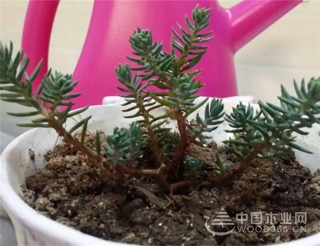塔松植物介绍