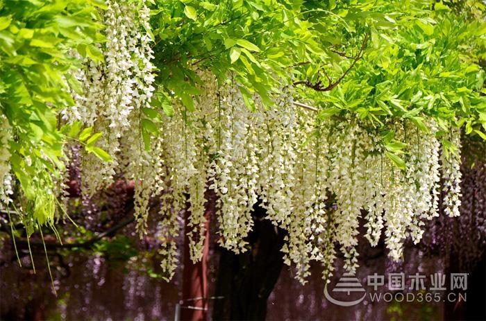 白花藤萝植物介绍
