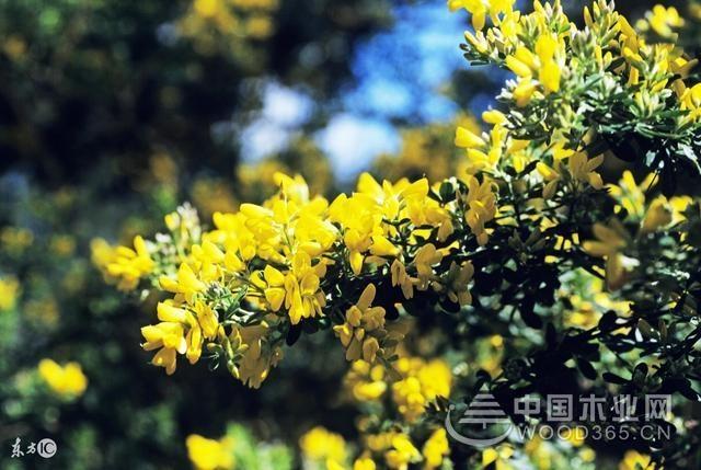怎样种植金雀花?