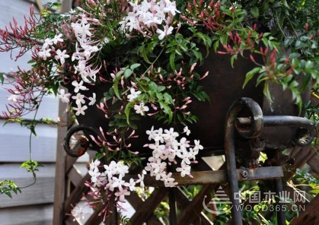 素馨的种植方法和要点以及注意事项