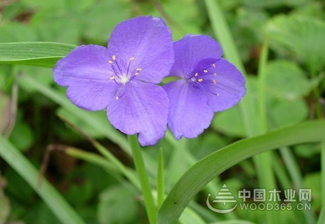 怎样种植紫露草?