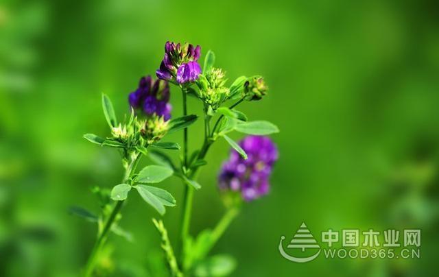 怎样种植紫色苜蓿?