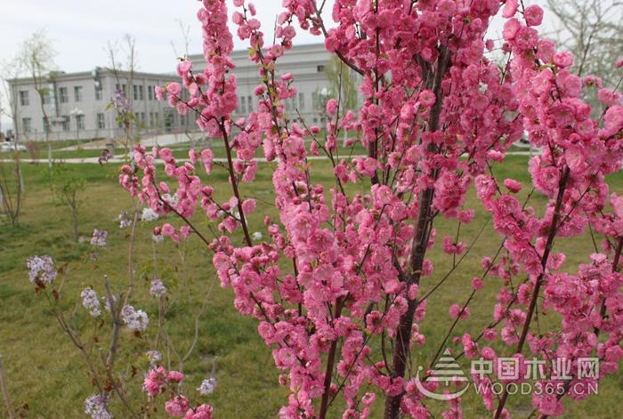 榆叶梅的种植要点和注意事项