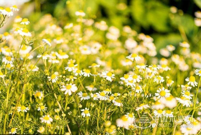 雏菊的养殖要点和技巧