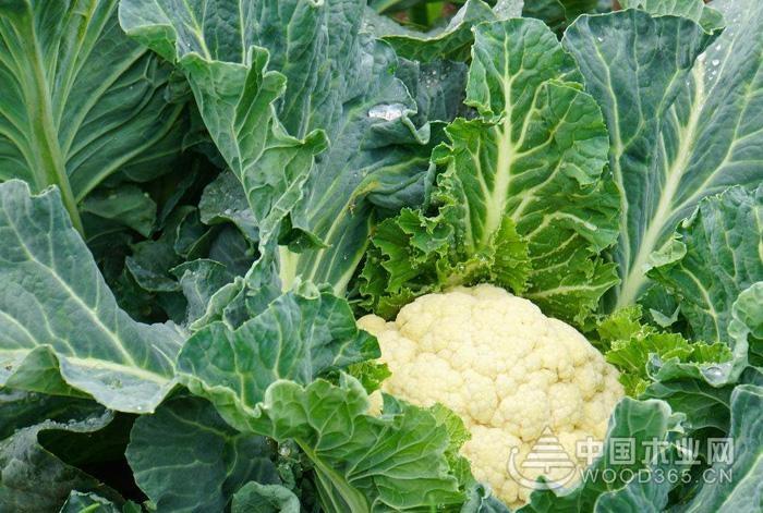 花菜什么时候种植?花菜怎么种植?