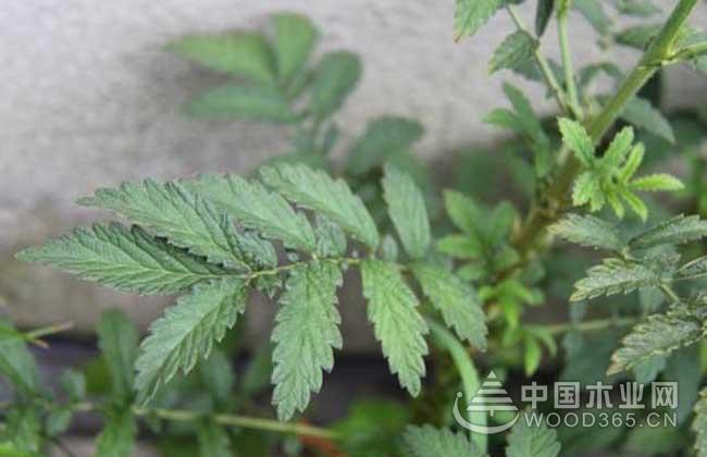 仙鹤草种子价格及种植方法吧