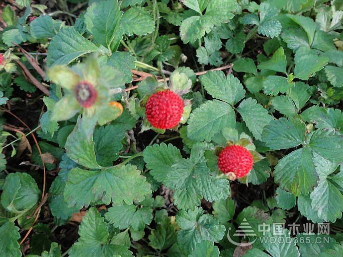 蛇莓可以吃吗?蛇莓的种植方法