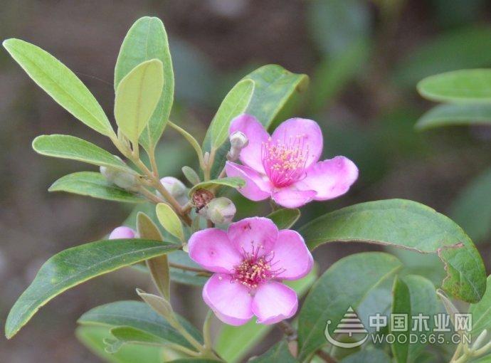 桃金娘盆景种植步骤