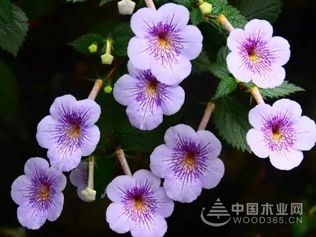 长筒花植物资料