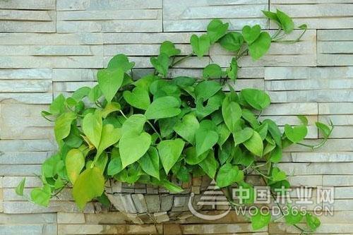土培绿萝种植方法