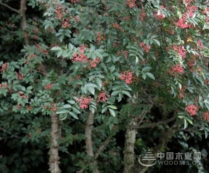 花椒木的功效及作用