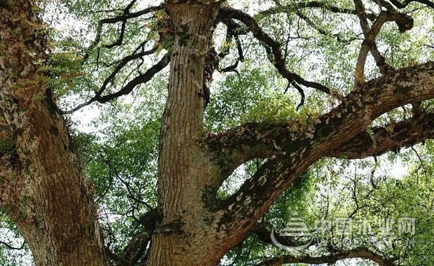 风水树木的吉凶和树型选择