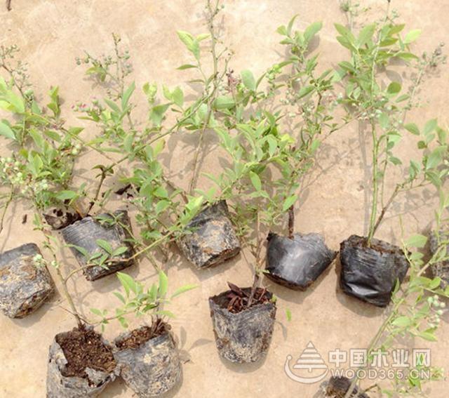 蓝莓种植注意事项