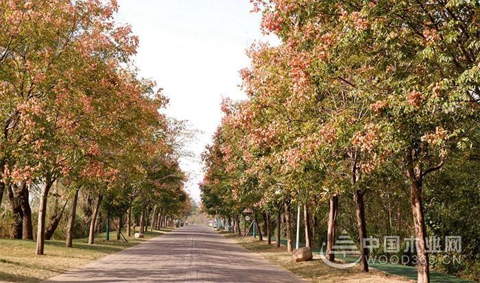 大栾树的养护管理和价格介绍