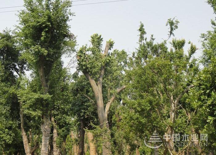 黄连木树详细介绍