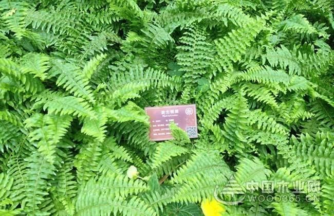 波斯顿蕨有毒吗?功效和作用是什么?