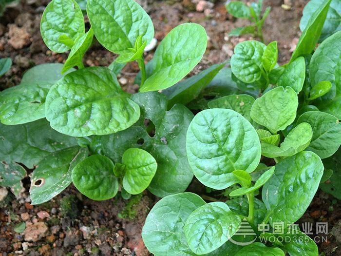 潺菜的生长习性和作用