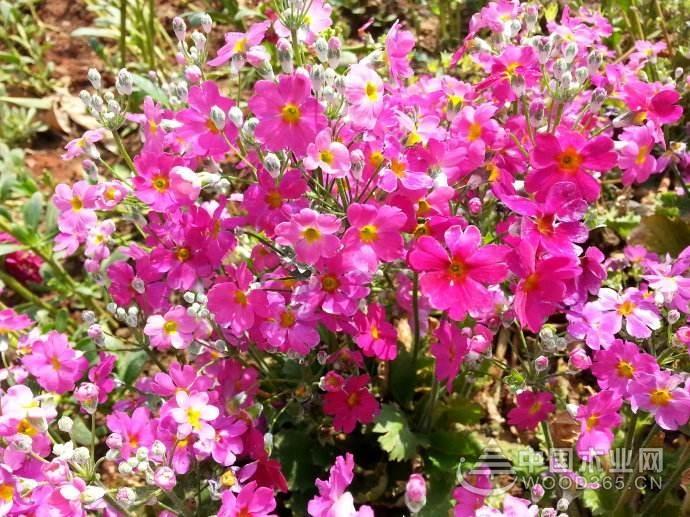 樱花草的花语介绍
