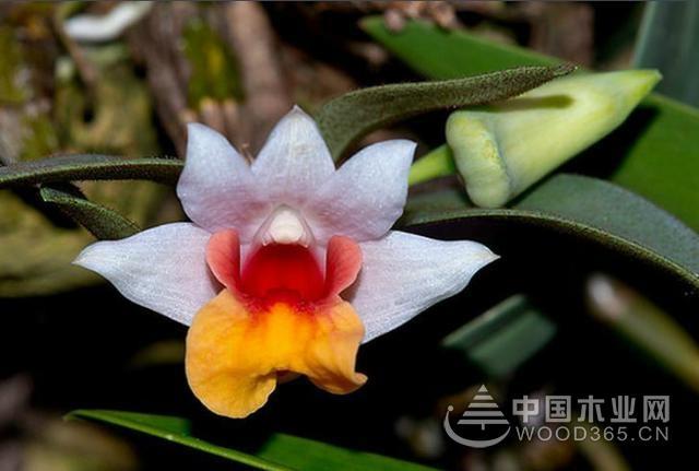 常见的石斛兰品种,它的花语是什么,有什么好处?