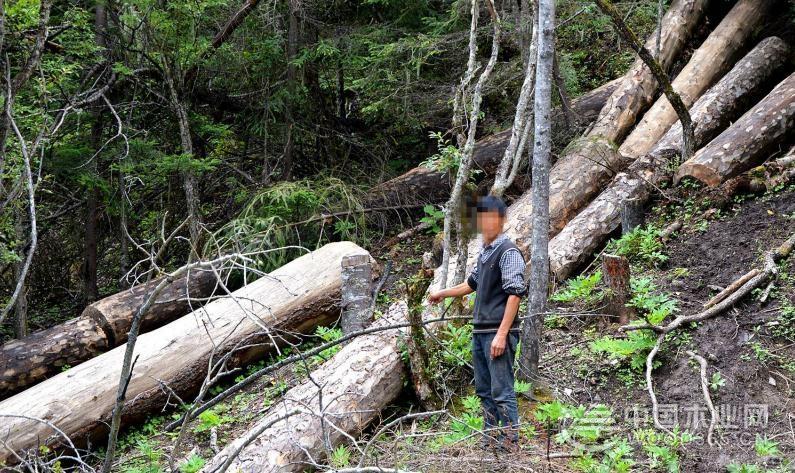 迪庆藏族自治州破获特大盗伐林木案 收缴原木99件