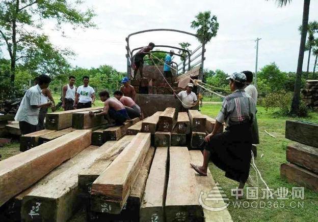 缅甸百姓合力抓捕走私非法木材车辆