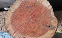 南方红豆杉木材的介绍