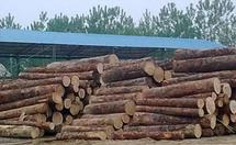 坤甸铁樟木木材详解