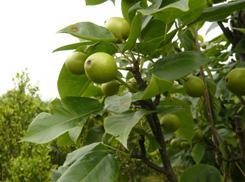 梨树种植方法介绍
