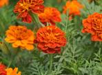 万寿菊种植方法