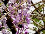 紫藤根的功效和作用