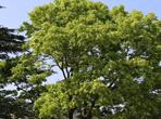 七叶树价值和七叶树价格介绍|七叶树图片