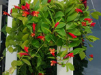 口红吊兰的养殖方法和口红吊兰开花时间|口红吊兰图片