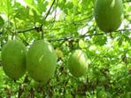 瓜蒌籽的种植方法