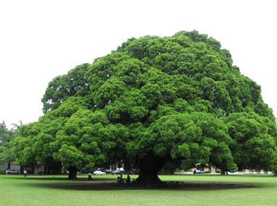 树 榕树 400_298