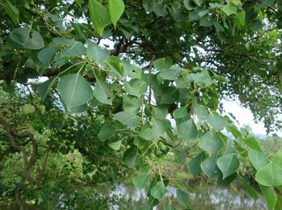 乌桕树的功效和作用以及乌桕树的重要价值