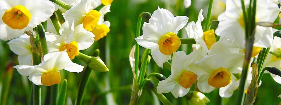 水仙花怎么养_水仙花的养殖方法和注意事项