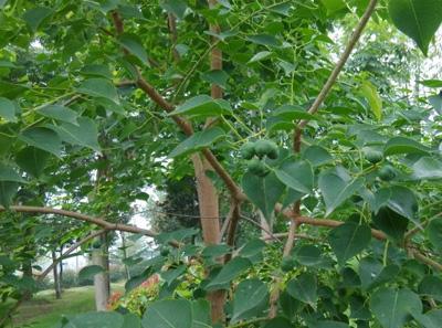 乌桕树不同病虫害防治方法