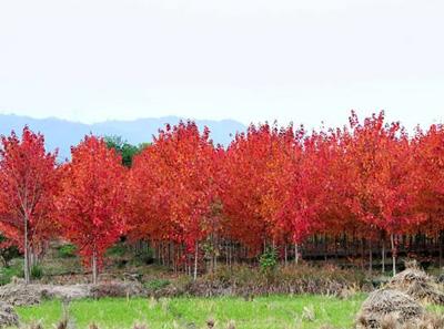 秋火焰的栽培管理方法